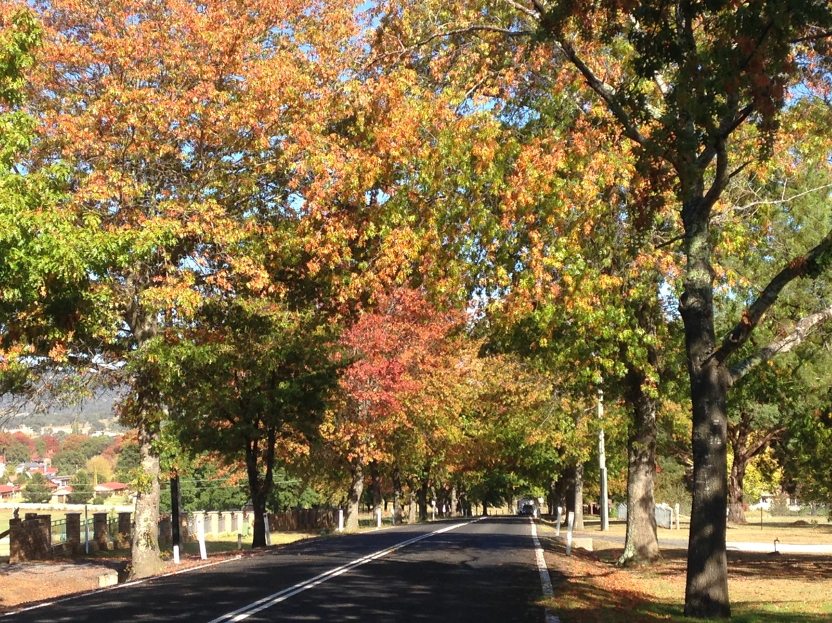 Avenue of Autumn Trees - Bruxner Highway