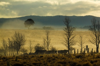 Cattle in mist; Photo by Peter Reid