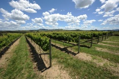 Vineyards in Tenterfield